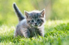 Fråga Veterinären: Varför kissar kattungen i sängen?