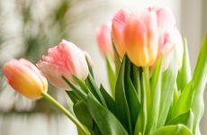Så håller du tulpanerna vid liv längre