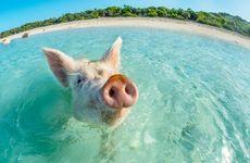 TV: Här är paradisön där du kan simma med grisar